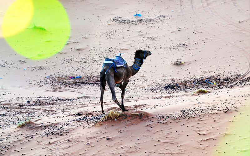 Camel in agadir morroco